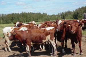 Kuva Ala-Orvolan tilan lehmistä